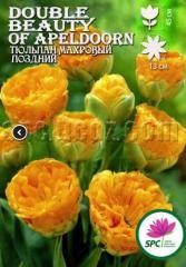 Луковица тюльпана махрового поздняя