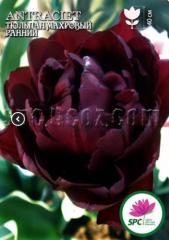 Луковица тюльпана махрового ранняя