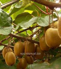 Саженцы киви Соло самоопыляемый сорт