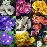 Примула, первоцвет Primula