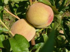 Grade peach saplings the Kiev early