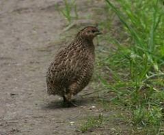 Quail, quail egg