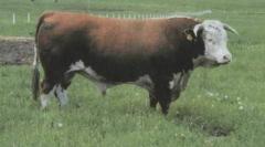 Gerefordsky breed