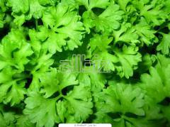 Петрушка листовая органическая