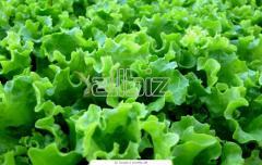 Салат листовой органический