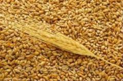 Пшеница обыкновенная