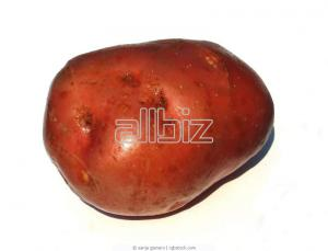 New potato of Red Scarle