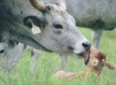 Эмбрионы ценных пород и коровы венгерской серой