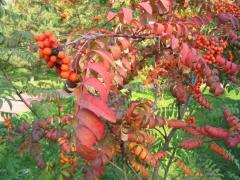 Saplings of a mountain ash red, guelder-roses, oak