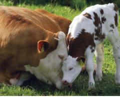 We buy live cattle, cows, cows breeding, heifers,