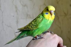 Волнистые попугаи 2мес.