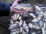 Материал рыбопосадочный малек карпа