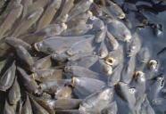 Материал рыбопосадочный толстолобик