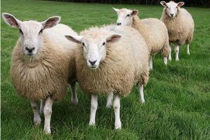 I will wholesale rams, sheep