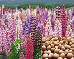 Lupine fodder. Bean cultures