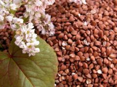 Buckwheat ordinary. Grain, bean and krupyany crops