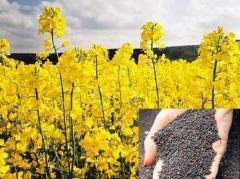 Colza fodder. Commercial crops