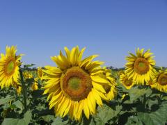"""Hybrid of sunflower """"Fragmen"""