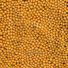 Yellow mustard (Brassica juncea Czern)