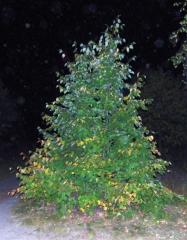 Saplings of a linden, birch, oak, red oak, maple,