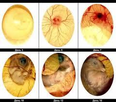 Яйца инкубационные куринные,утинные,гусинные