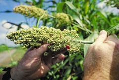 Семена сорго Одесский 205