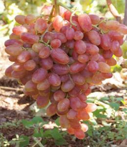 Виноград сорт Преображение, где купить саженцы