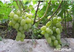 Саженцы винограда ранних сортов АКСИНЬЯ