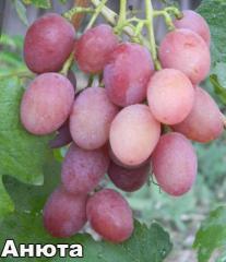 Саженцы винограда АНЮТА
