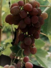 Саженцы ранних сортов винограда АРГО