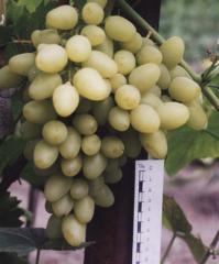 Саженцы винограда Аркадия, ранний сорт