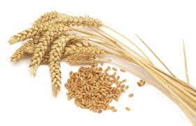 Cultivation and sale of wheat for expor