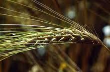 Культуры зерновые экспорт