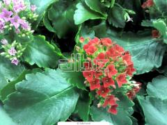 Комнатные растения купить в Днепропетровске в
