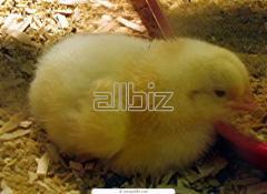 Цыплята мясо-яичных пород кур Луганская область