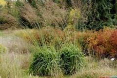 Декоративные травы, злаки, Хмельницкая область,