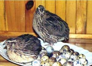 яйца перепелов с домашней фермы