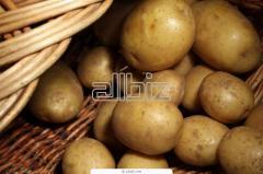 Potatoes of srednepozdniya, potato the Chernihiv