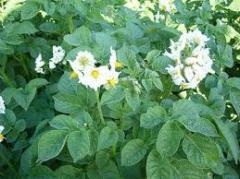 Картофель ранний от производителя оптом  (Сорт