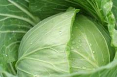 Cabbage price Ukraine. Grades: Kaunter, Lennox