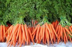 Морковь ранняя, продам оптом от производителя