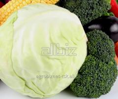 Cabbage for expor