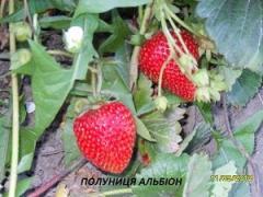 Саджанці полуниці Альбіон