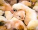 Цыплята бройлеров суточные и подрощенные под
