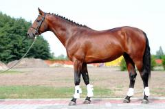 Bay Gerold, 2008, sport Warmblood breed