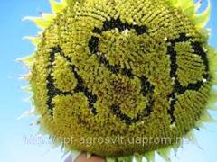 Sunflower seeds, hybrids of sunflower of ALAMO F1