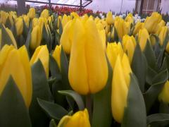 Стронголд, оптом продажа тюльпанов по Украине