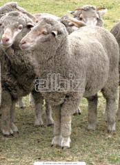 Овцы. Ярка