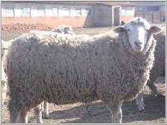 Овцы племенные мясной породы
