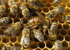 Пчелопакеты. Украинская степовая